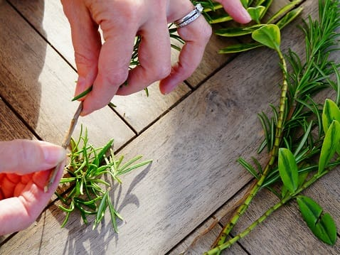 taking off greenery on rosemary